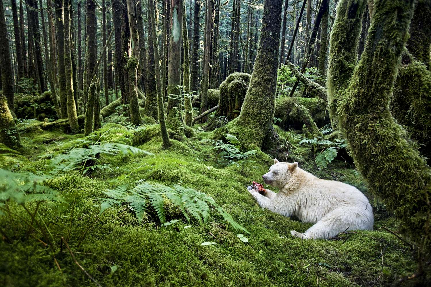 Spirit Bears of the Great Bear Rainforest